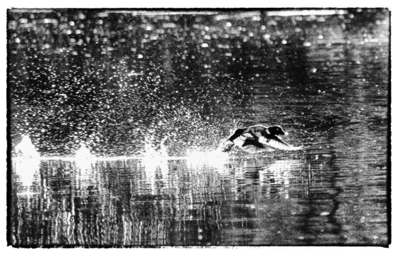 Duck takeoff