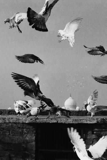 Pigeon racing over the taj mahal