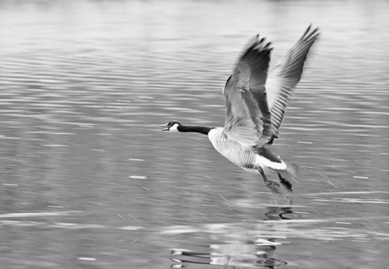 Goose 1