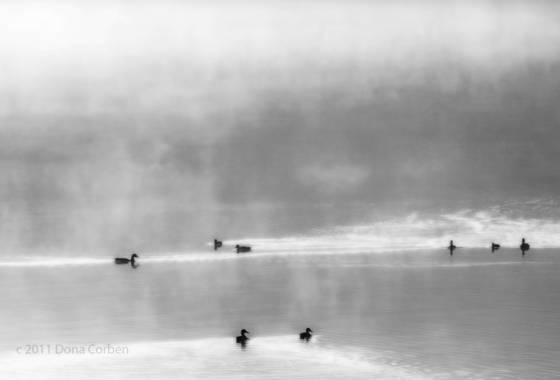 Ducks in fog