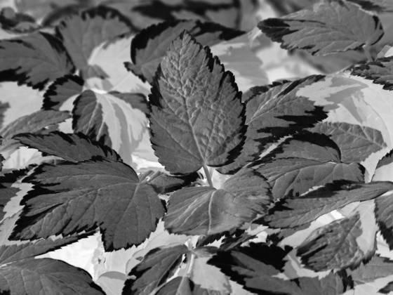 Black leaf 10
