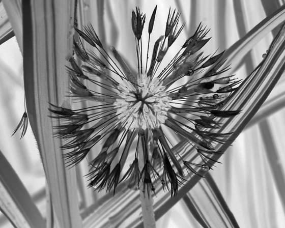 Black leaf 11