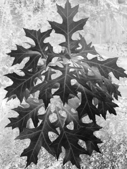 Black leaf 12