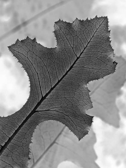 Black leaf 5