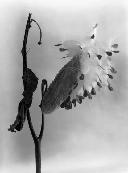 Milkweed 6