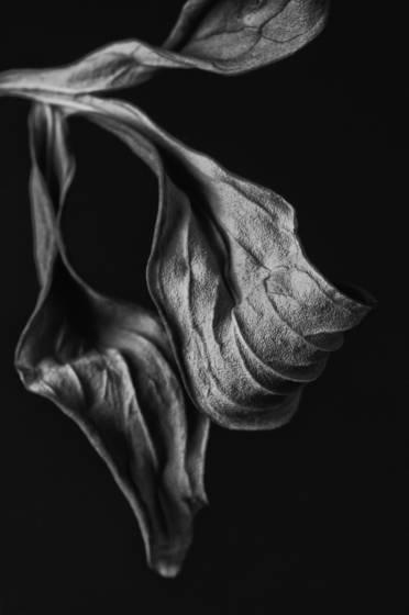 Peony leaf 2