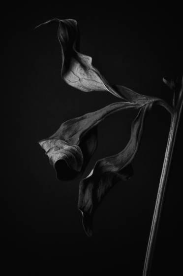 Peony leaf 3