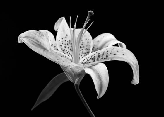 Lily no  4