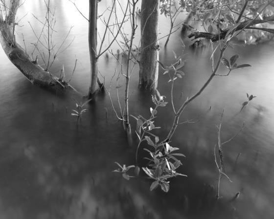Black mangrove study 9