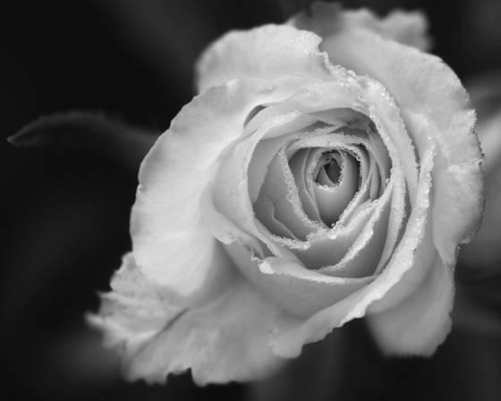 Dewey rose