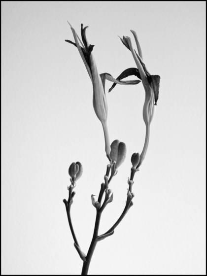 Lilies  last embrace