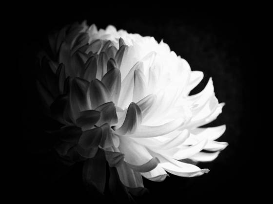 Chrysanthemum study  2