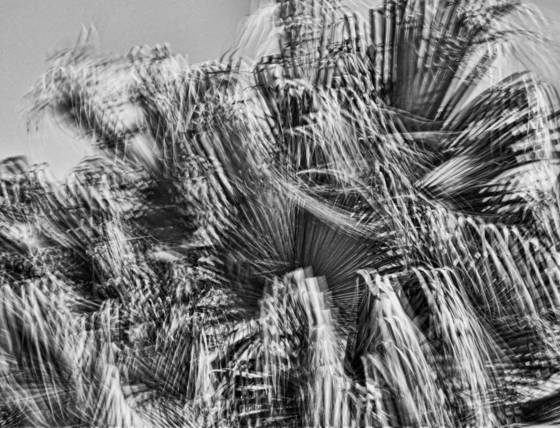 Windblown palms  11