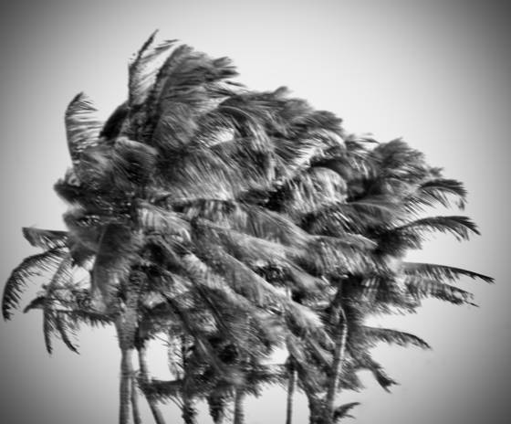 Windblown palms  15