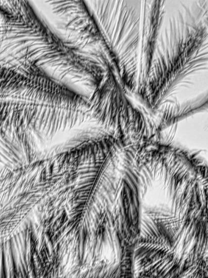 Windblown palms  2