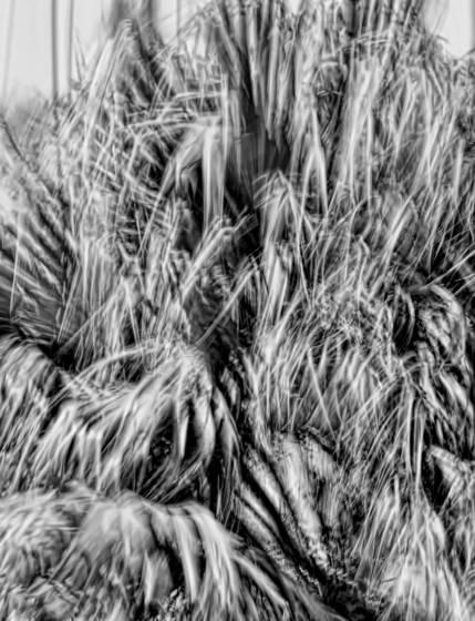 Windblown palms  7
