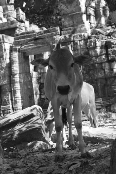 Cow at angkor wat
