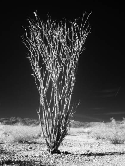Joshua tree no 1