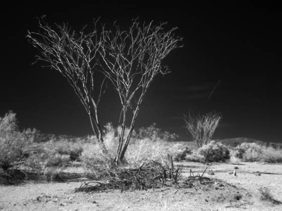 Joshua tree no 2