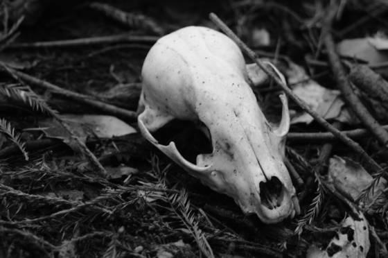 Raccoon skull 2
