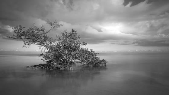 Black mangrove rising