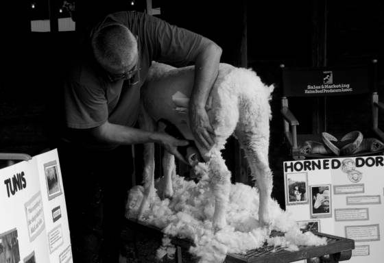 Sheep shearing   union fair