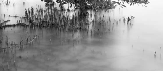 Black mangrove study  3