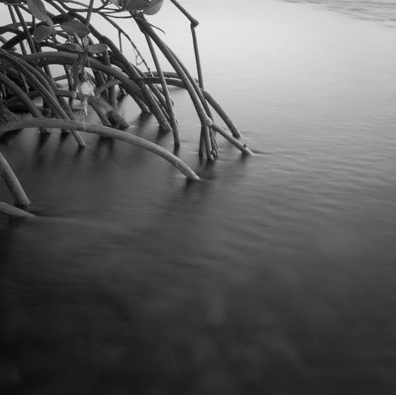 Mangrove roots   water