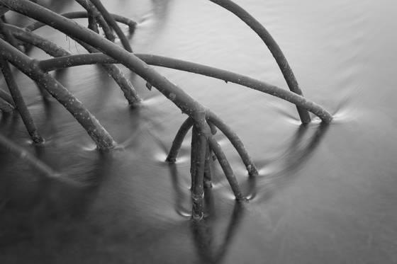 Red mangrove study  3