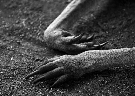Kangaroo feet