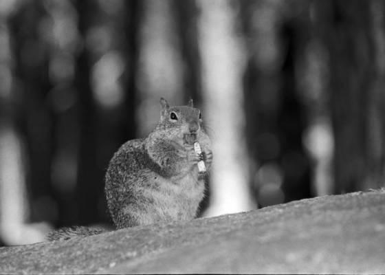 Smoking squirrel