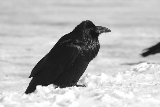A raven s plumage