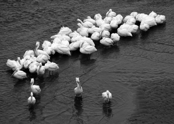 Resting white pelicans