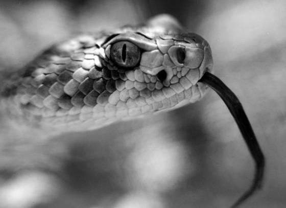 Rattlesnake face