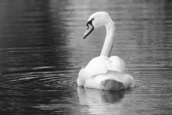 Swan gaze