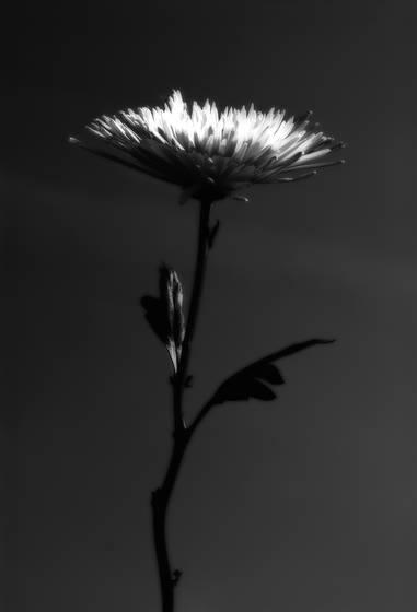 Mi flor brilliante
