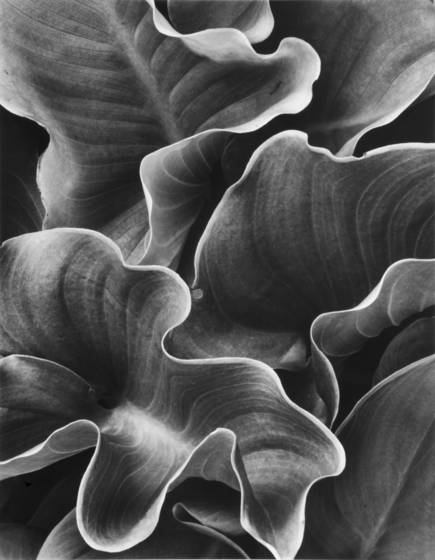 Calla leaves
