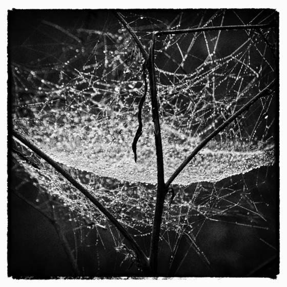 Dew on web