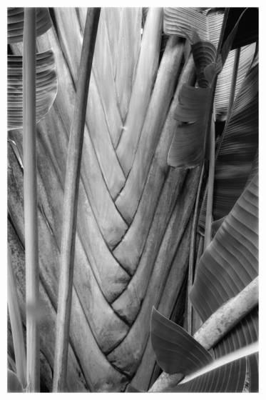Traveler s palm