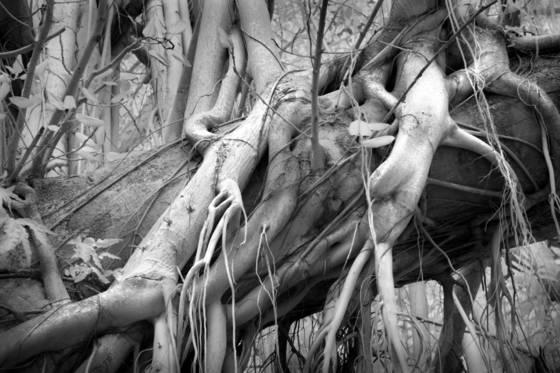 In the banyan tree