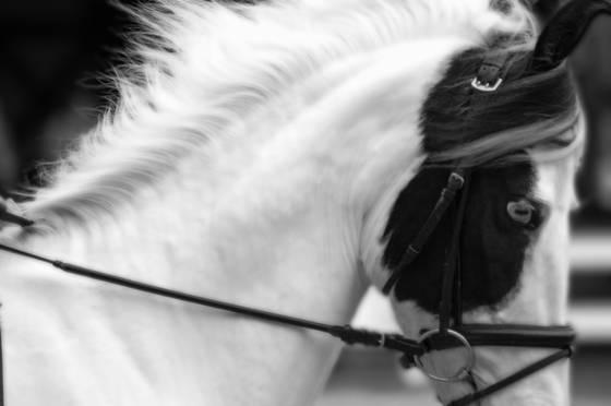 Mawari horse