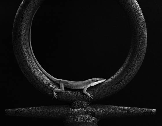 Lizard in venus