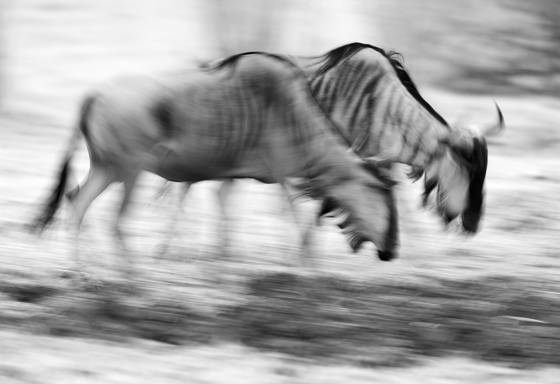 Cookson s wildebeest