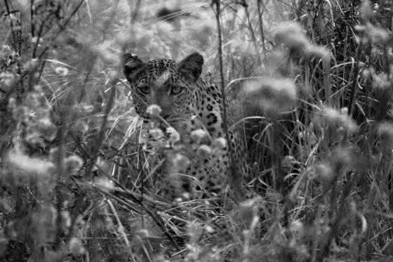 Leopard eden