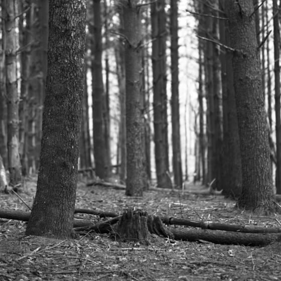 Sewanee tree 1