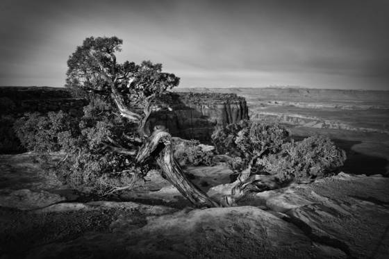 Canyonlands juniper