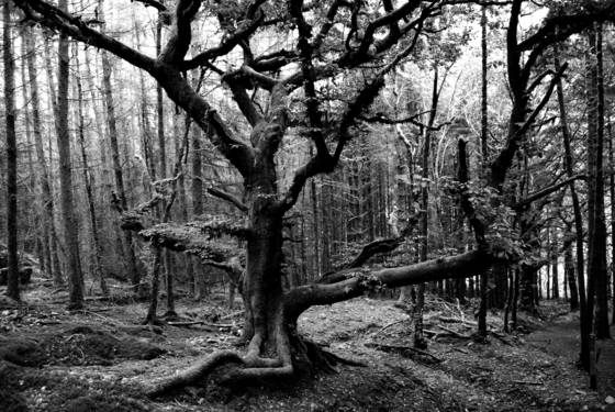Tree at ystradfellte