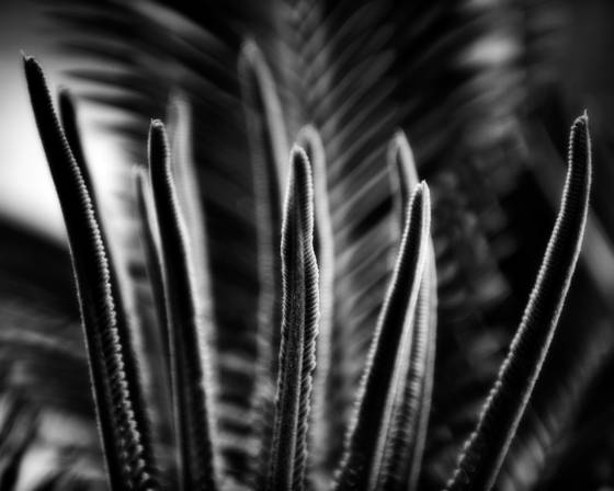 New fronds on sago palm 2