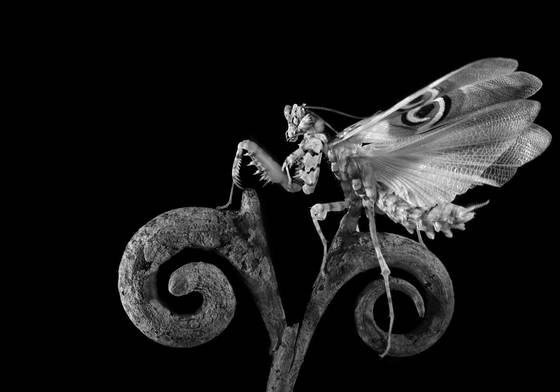 Easy rider  pseudocreobotra wahlbergii