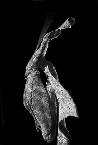 Nefertiti  phyllocrania paradoxa